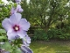 ROOMS4 - Freistehendes EFH mit Wintergarten und traumhaftem Garten - großer Hibiskus